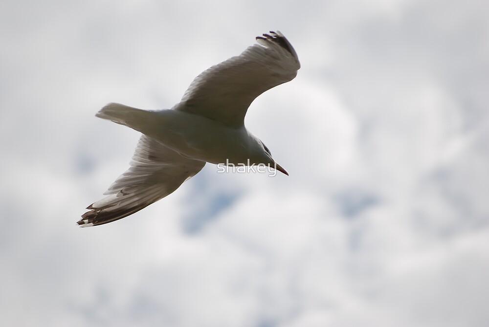 Gull by shakey