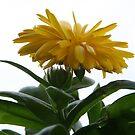 Yellow Chrysanthemum II  by Gary L   Suddath