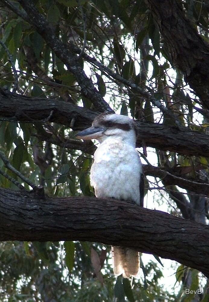 Kookaburra by BevB