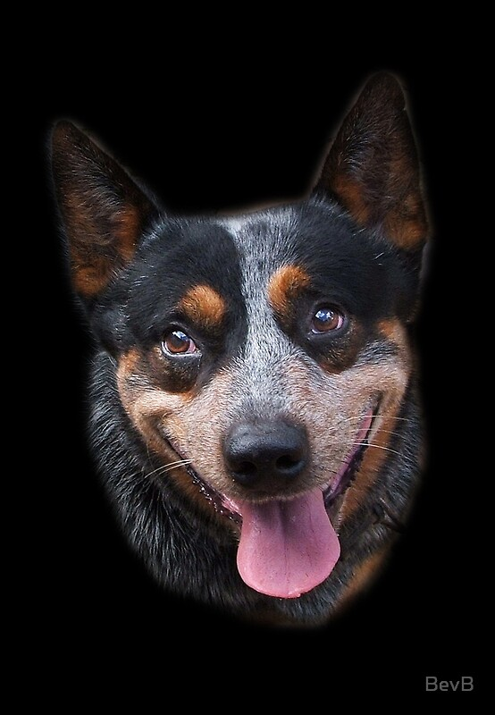 Quot Blue Heeler Quot Greeting Cards By Bevb Redbubble