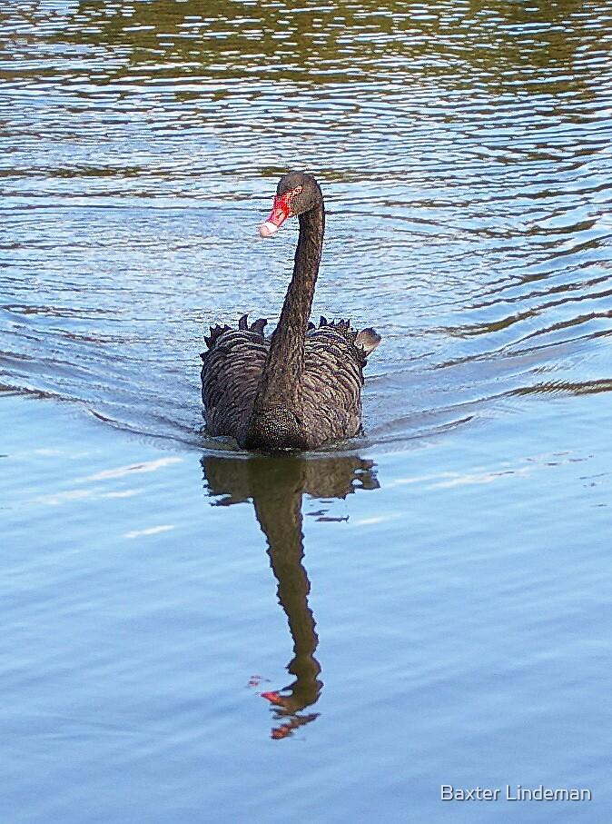 Australian Black Swan by Baxter Lindeman