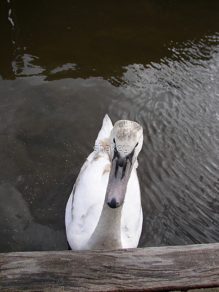 Swan by shakey