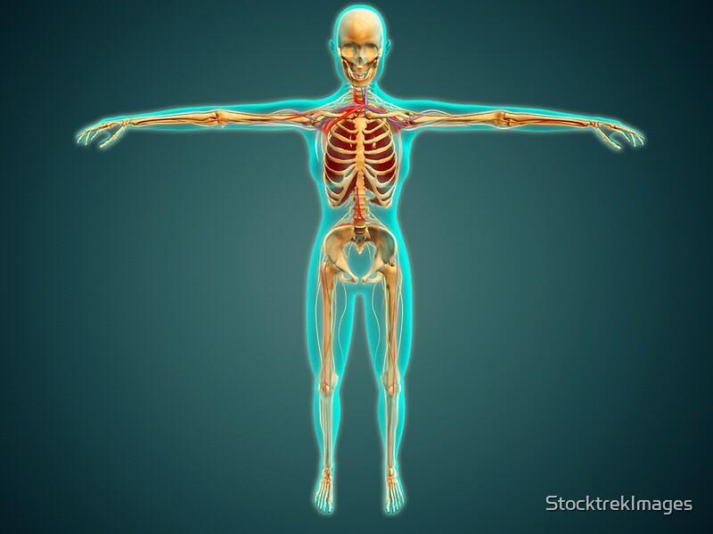 Pegatinas «El cuerpo humano muestra el sistema esquelético, las ...