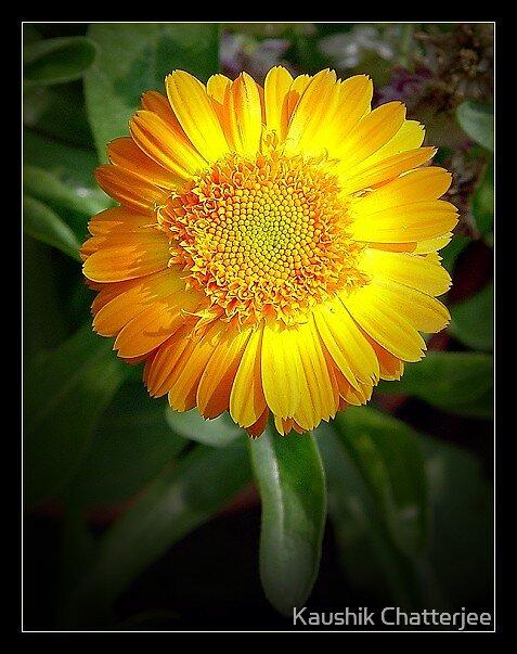 Sunflower by Kaushik Chatterjee