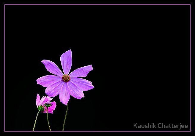 The Pink by Kaushik Chatterjee