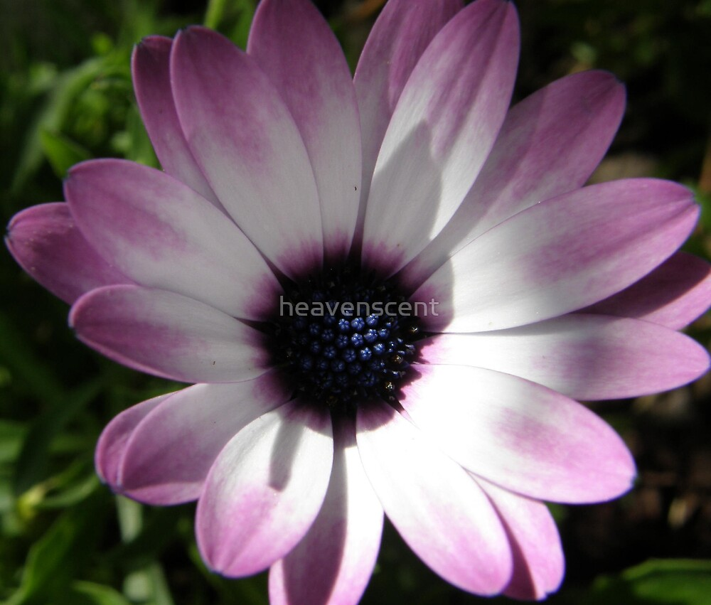 mauve daisy by heavenscent