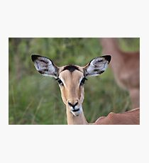 Pretty South African Impala Deer Photographic Print