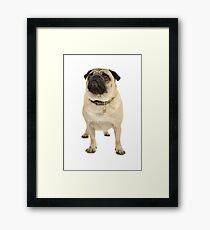 Adorable pug Framed Print