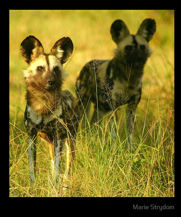 African's Spotted Dog by Marie Strydom