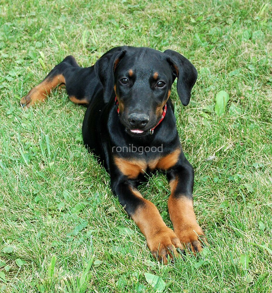Dobie pup by ronibgood