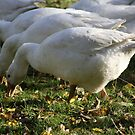 Wild Geese by Andyjloft