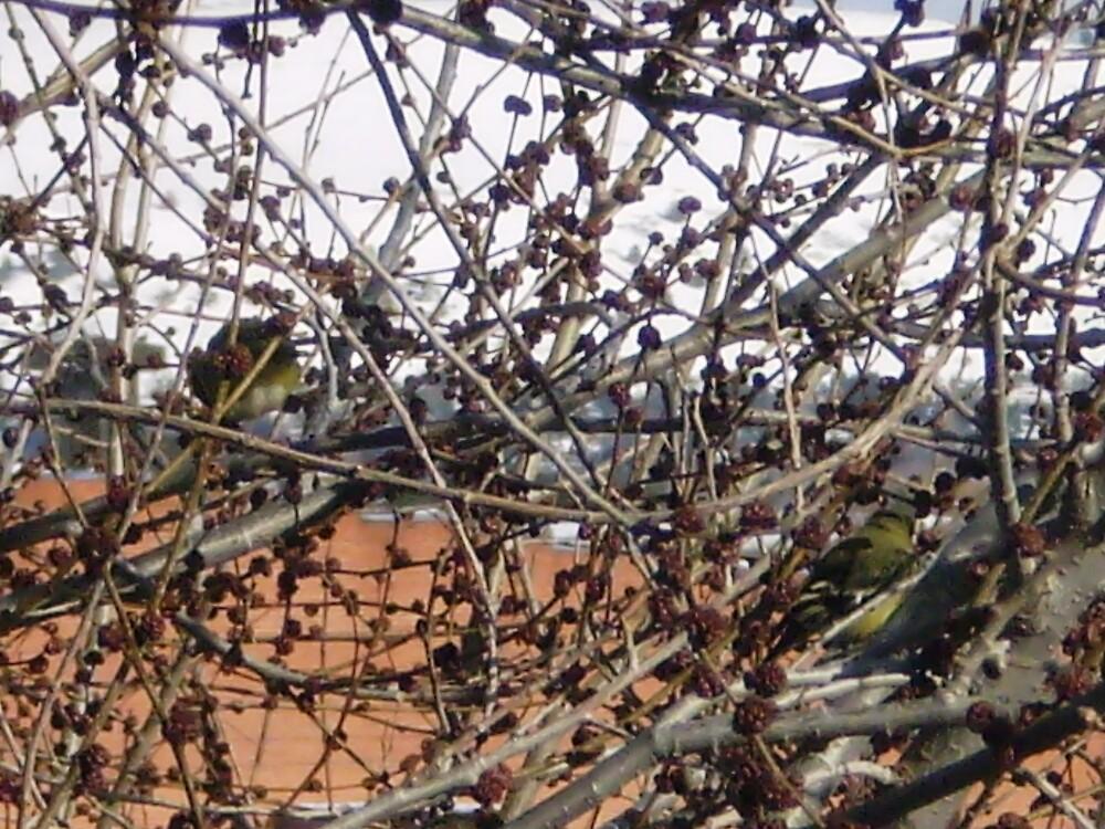two birdies in a bush by madvlad