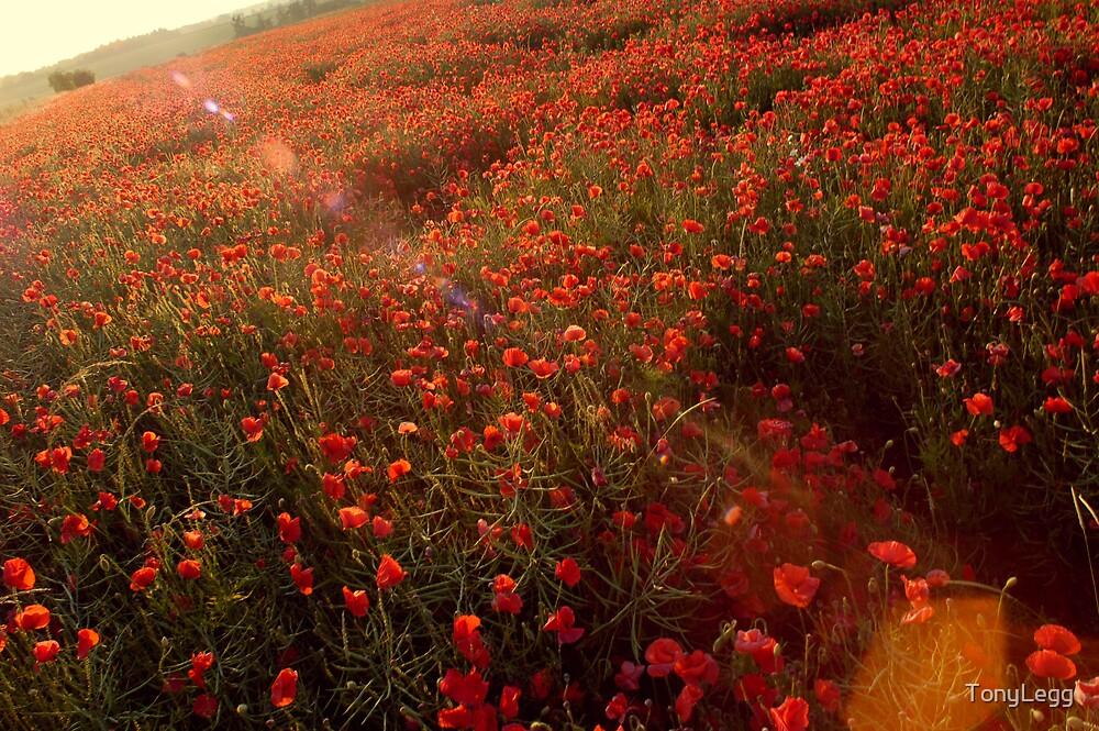 Poppy field.. by TonyLegg