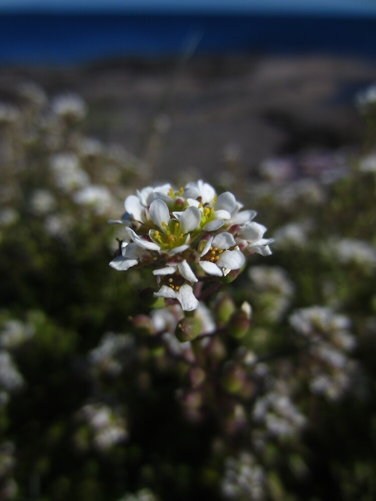 Common scurvy grass by IOMWildFlowers