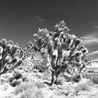 Joshua Trees in the Arizona Desert. by Alex Cassels