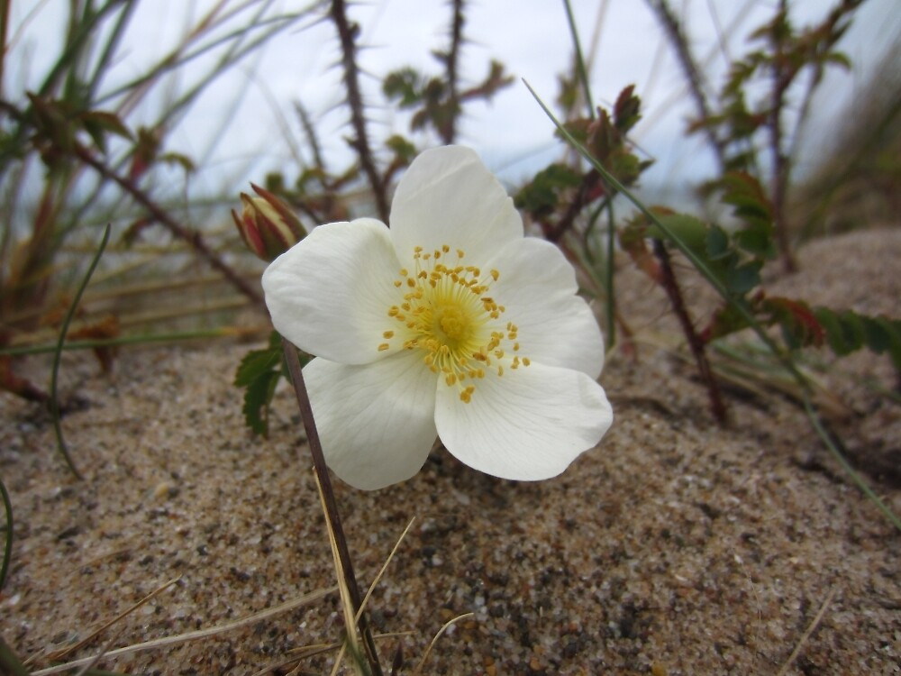 Burnet rose by IOMWildFlowers