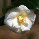White Camellia III by Gary L   Suddath
