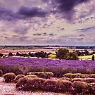 Yorkshire Lavender Panorama by Colin Metcalf