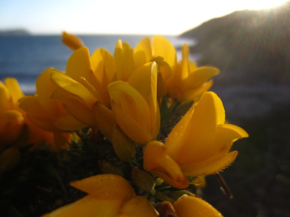 European Gorse by IOMWildFlowers