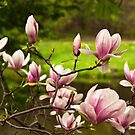 Blooming Magnolia Tree Close-up by DAntas