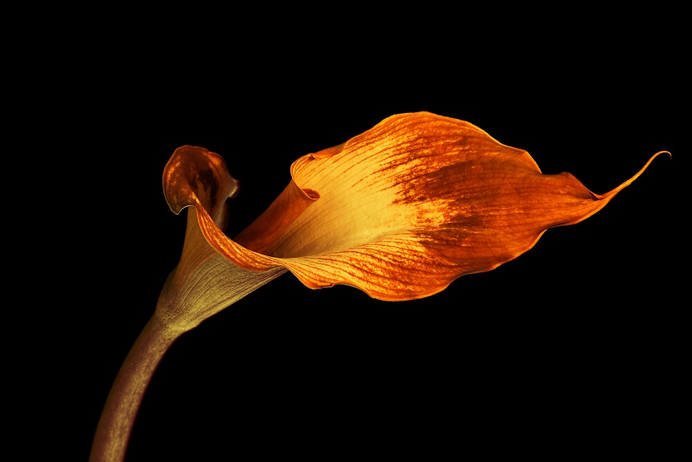 Infrared Calla Lily by David Thibodeaux