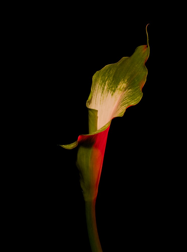 Calla 2 by David Thibodeaux
