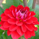 Red Dahlia by Andy Harris