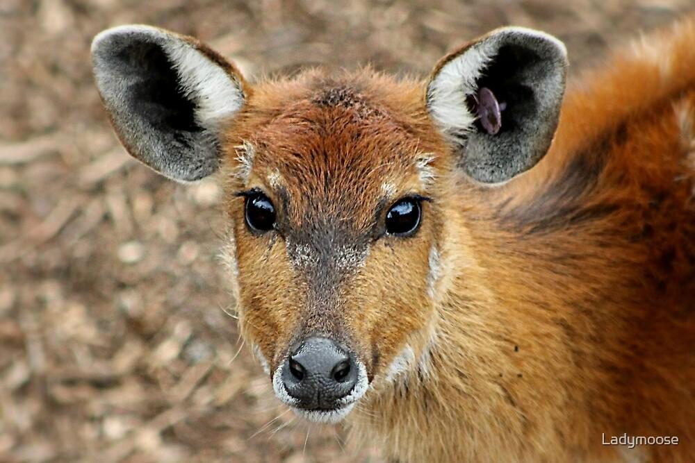 Sitatunga Portrait by Ladymoose