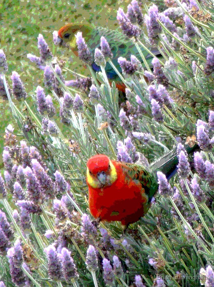 Posterised Parrots in Lavender Bush by Brian Cunningham