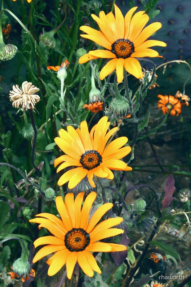 Arizona Wildflower by rhaworth