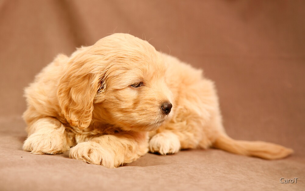 Golden Puppy by CaroT