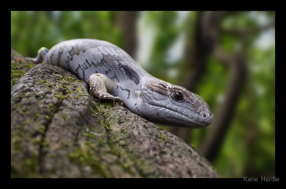 Bluey the Blue Tongued Lizard by Kane  Hardie