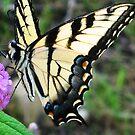 Swallowtail  by Jaime Hernandez