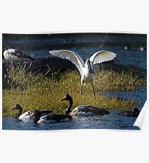 Yellow Billed Spoonbill Poster