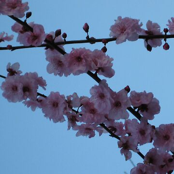 blossoms by ginny