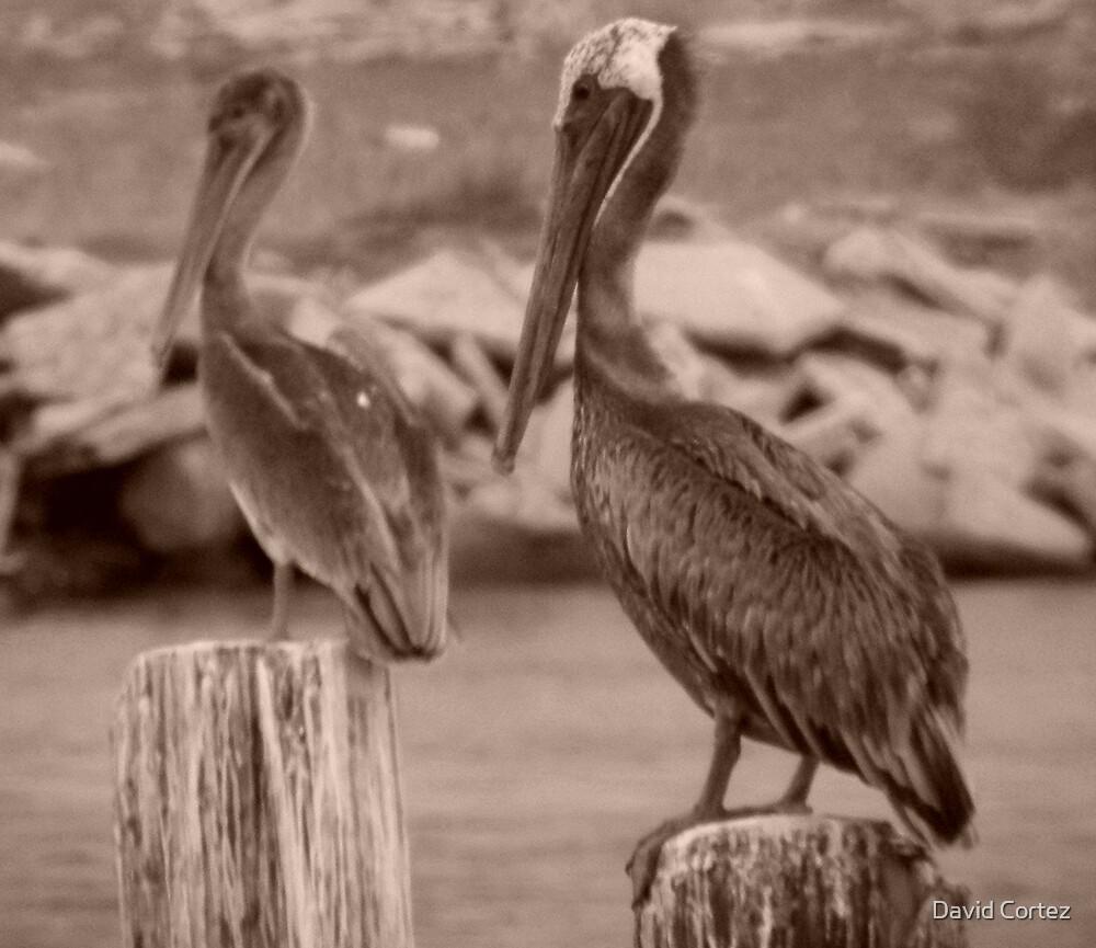 Pelicans by David Cortez