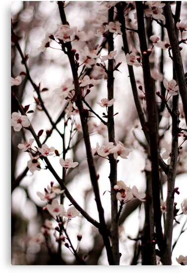 Cherry Blossoms in Spring by capturition