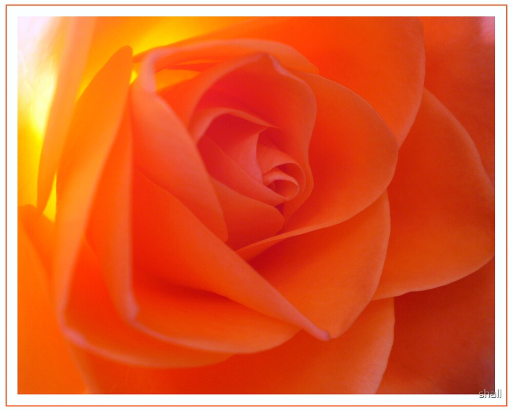 Rose amber by shall
