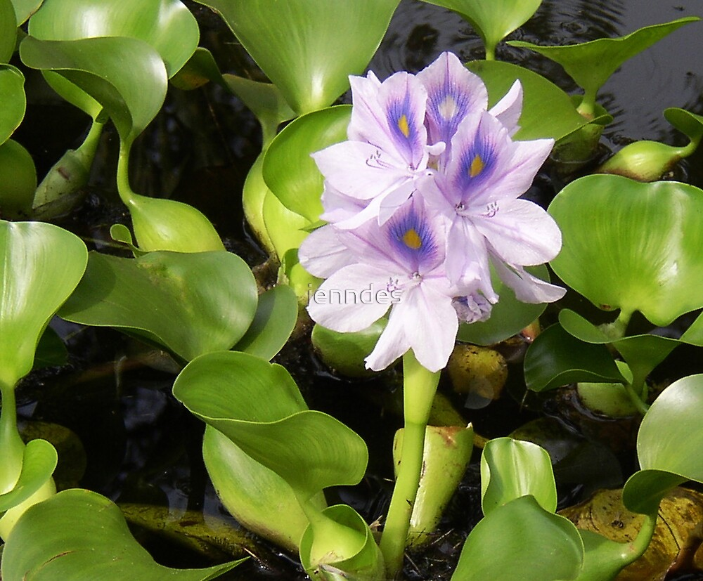 Lavendar Water Lily by jenndes