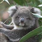 Baby Koala by drainbrain70