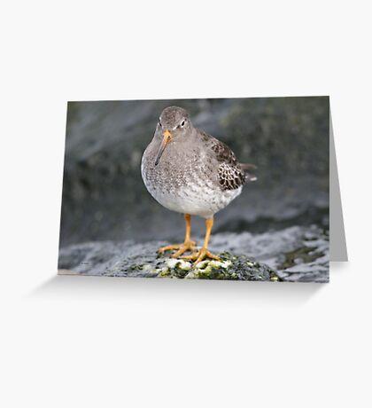 Purple Sandpiper Greeting Card