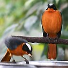Snowy crowned robin chats by missmoneypenny
