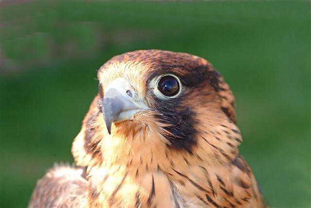 Anatum Peregrine Falcon by raptrlvr