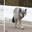 Sequence: grey wolf by zumi