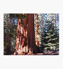 Giant Sequoia Photographic Print