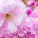 Macro Kwanzan Cherry Flowers by JennyRainbow
