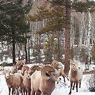 Meeting Bighorn sheep by zumi