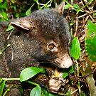 Mountian Brushtail Possum by Brett Habener