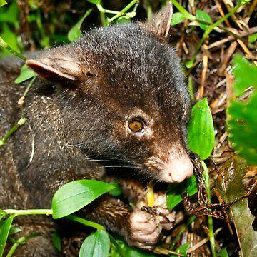 Mountian Brushtail Possum by lettuce