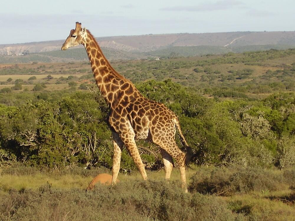 Giraffe in Shamwari by HelenBanham